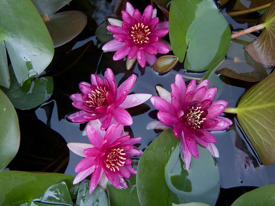 "Lilia  wodna Nymphaea ""Perry's Baby Red"""