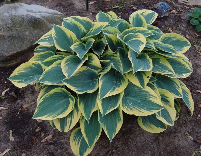 Hosta  funkia 'First frost '