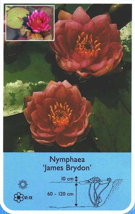 Lilia wodna Nymphaea'James Brydon'