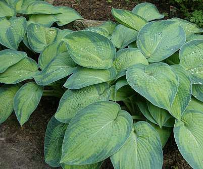 Hosta  Funkia Paul's glory